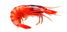 Crustáceos - Gamba Roja - AD Pescado y Marisco - Garciden - Almería