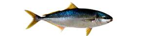 Pescado azul - Pez limón - AD Pescado y Marisco - Garciden - Almería